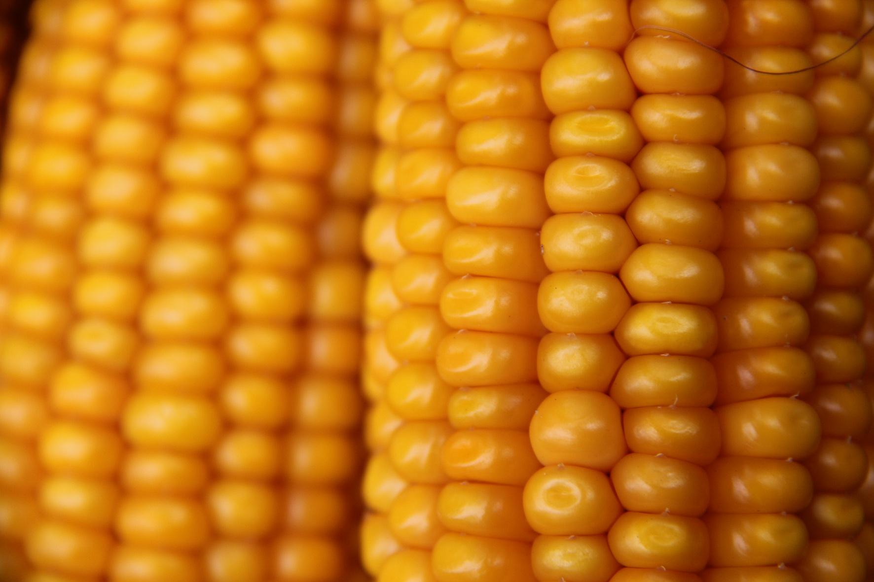 Unsere Öko-Sorten - Mais
