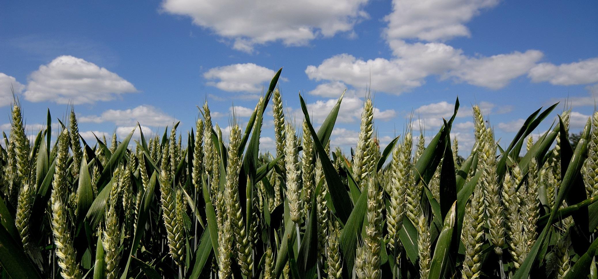 Aktuelles aus dem Getreide