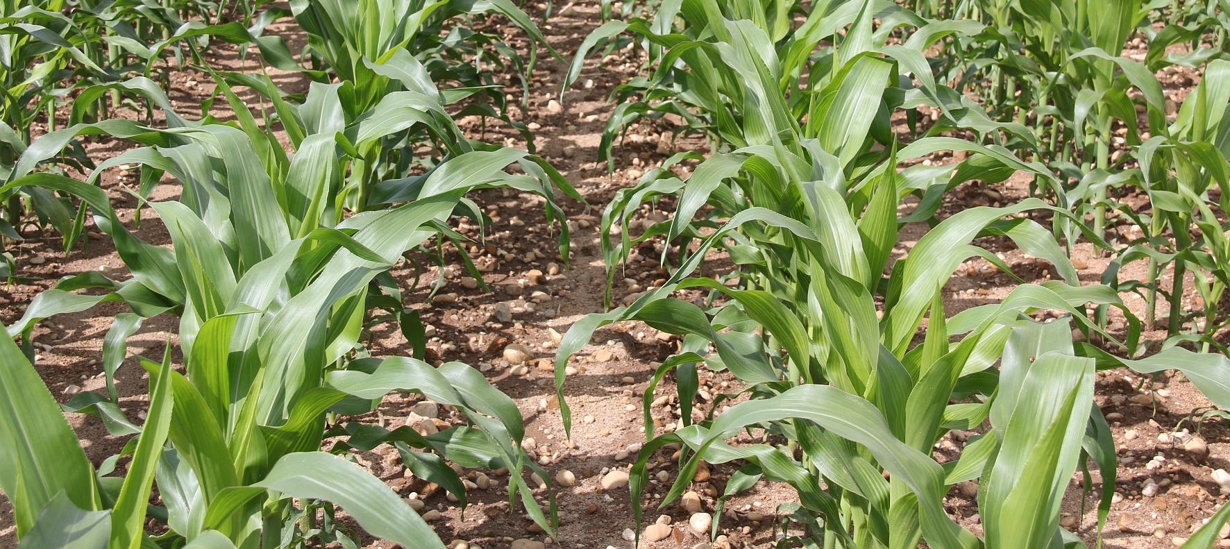 Aussaatempfehlung Mais