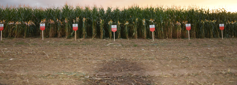 Sortenwahl Mais