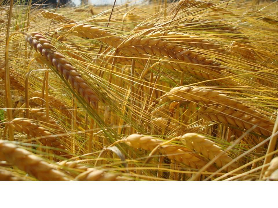 Unsere Öko-Sorten - Getreide