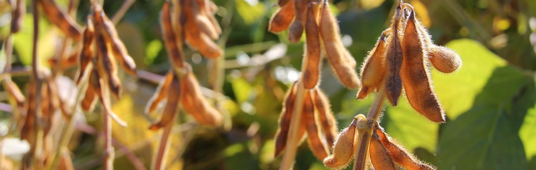 Unsere Öko-Sorten - Sojabohnen