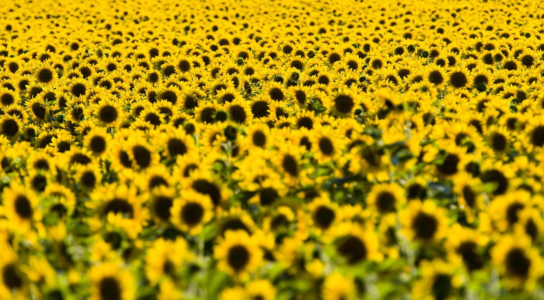 Unsere Öko-Sorten - Sonnenblumen