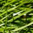 Rohrschwingel (Futtergräser)